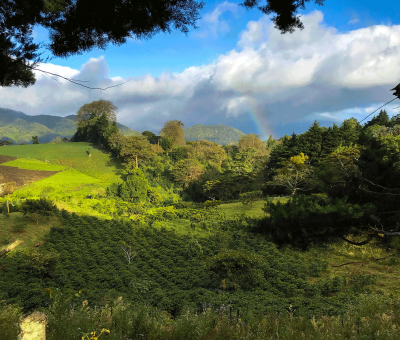 The coffee is cultivated in the coffee plantation